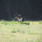 Bull Moose sighting